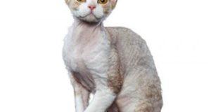 Что следует знать о кошках породы девон-рекс